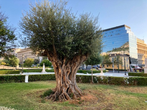 700 year-old olive tree, Athens